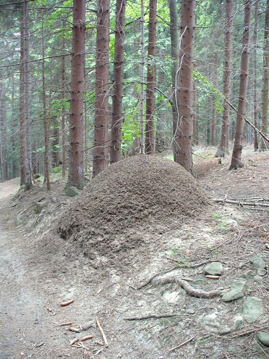 Mravenčia homola