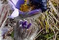 Majka fialova