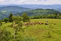 Pohoda pri kravách