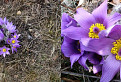 Poniklec veľkokvetý ( Pulsatilla grandis )