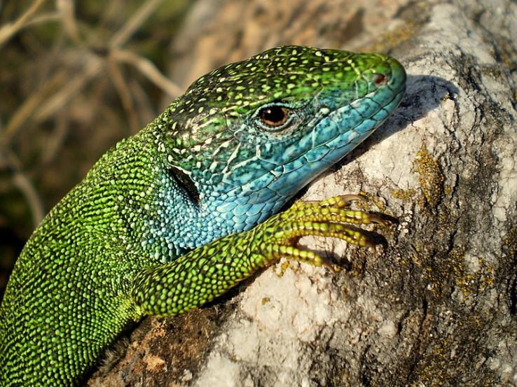 Samec jašterice zelenej (Lacerta viridis)