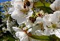 Práca včiel.