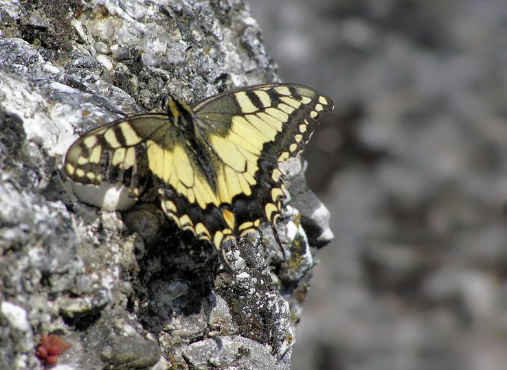 Motýľ strážca