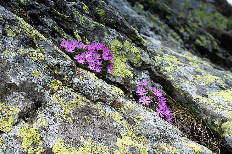 Prvosienka najmenšia (Primula minima)