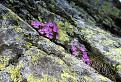 Prvosienka najmenšia (Primula minima) / 1.2174