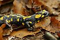 Salamandra skvrnita