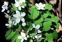 Veterník žltuškovitý (Isopyrum thalictroides) / bez hodnotenia