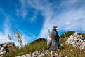 Poštový holub na Vysokej