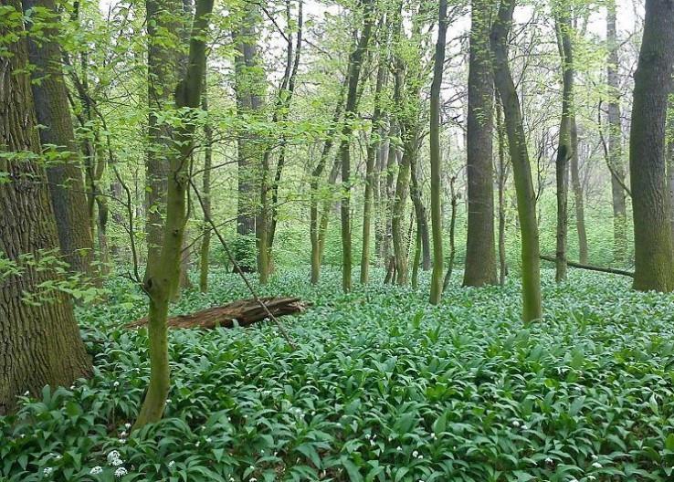 V Chynorianskom cesnakovom (pra)lese