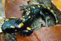 mlada salamandra