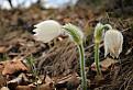 Poniklec albínsky / 1.0400