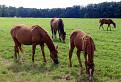 koníky na Krásnom majeri