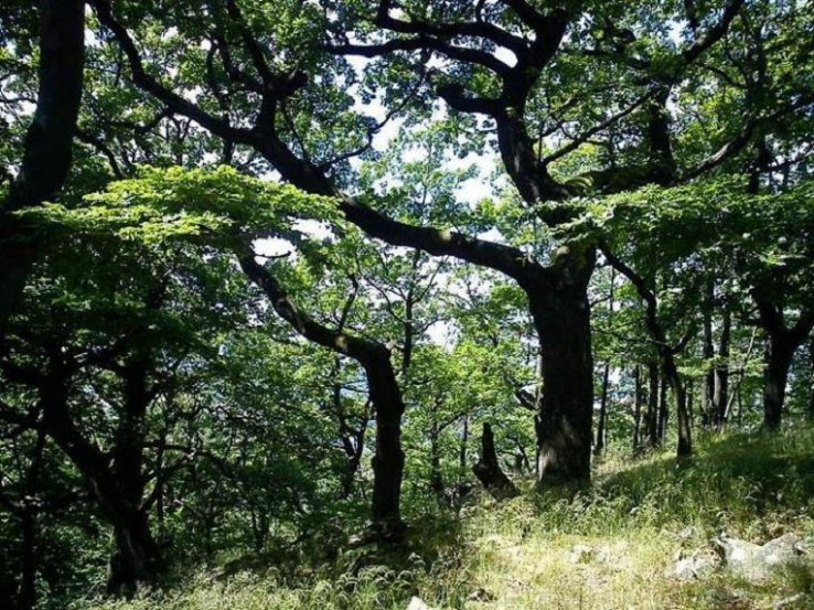 Rakytské duby