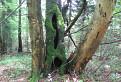 Mátoha zelená javornícka