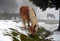 Pásla kone na (betone) snehu
