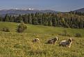 Tri ovečky a Roháče
