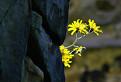 Slnečné kvety alebo Kameňožrút bylinožravý