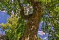 Quercus Corvinus