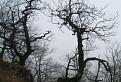 Quercus mysteriousens