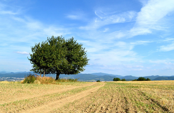 Strom na Kopánke.