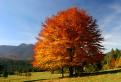 Ďalší jesenný strom / 1.0517