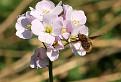 Chlpačka veľká (Bombylius major)