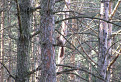 Obyvateľ(-ka) borovicového lesa,