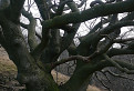 Starý strom.