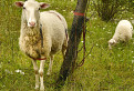 Smolenická ovečka / 1.0000