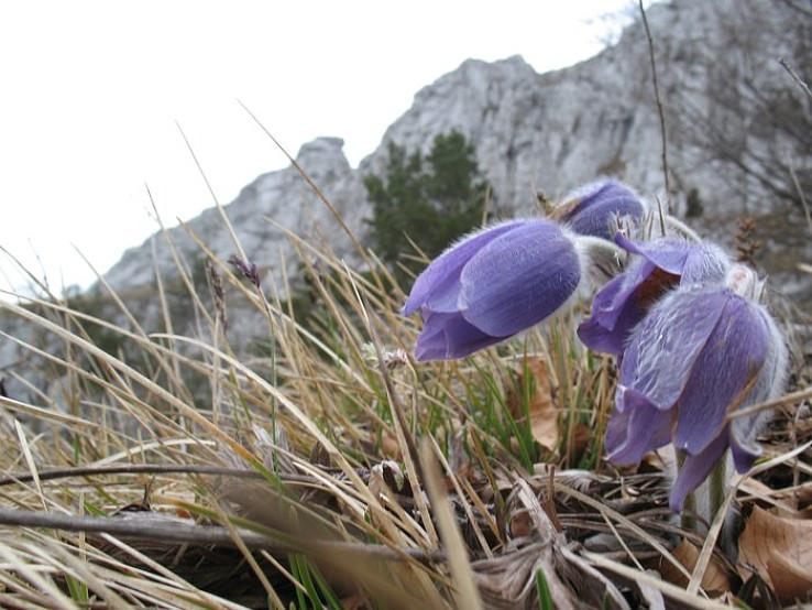 Poniklec veľkokvetý (Pulsatilla grandis)