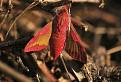 Lišaj vŕbkový (Deilephila elpenor)