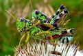 grasshoperss
