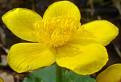 Záružlie močiarne ( Caltha Palustris )