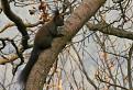 Veverička žibridská