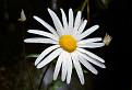 Králik biely ( Chrisanthemum Leucanthemum )