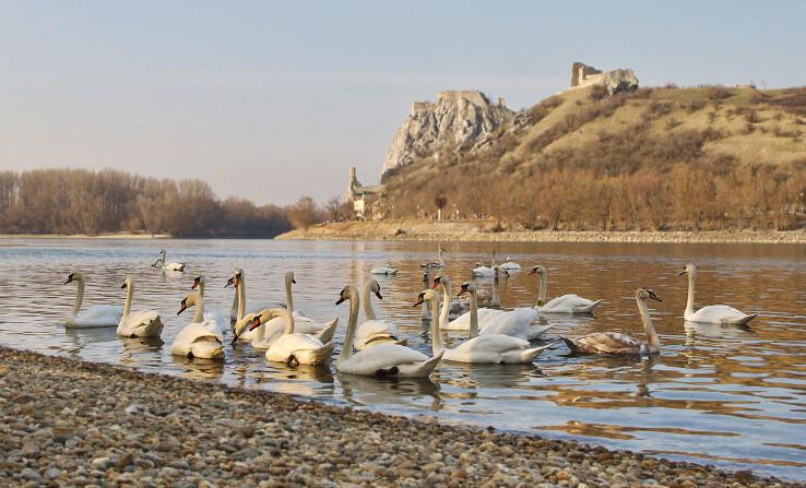 Dunajské labute