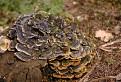 Trúdnikovec pestrý - Trametes versicolor (L.) Lloyd