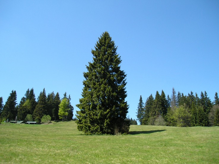 Na Kráľovej holi stojí strom zelený...
