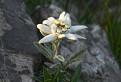 Leontopodium alpinum / 1.0000