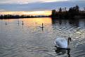 Flotila labutí