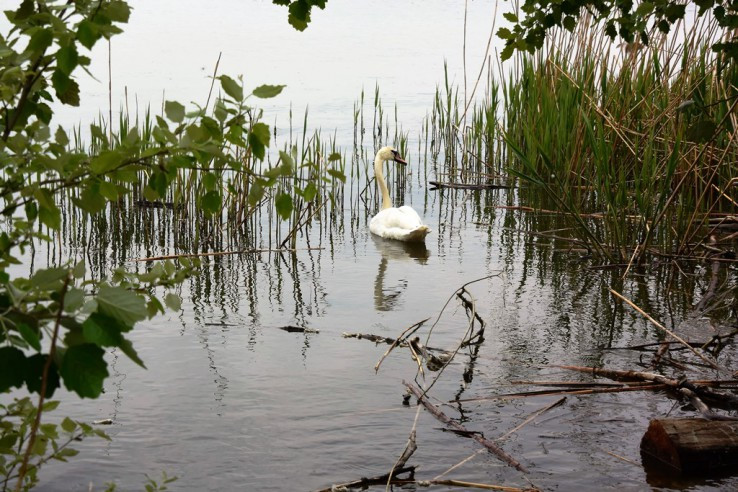 Labuť na Dunaji