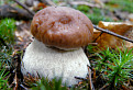 Boletus blues