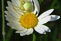 kvetárik dvojtvarý (Misumena vatia) na margarétke