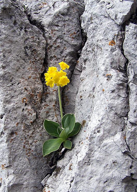 Prvosienka holá (Primula auricula)