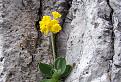 Prvosienka holá (Primula auricula) / 1.0000