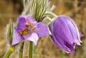 Chlpatá ale krásna jar...