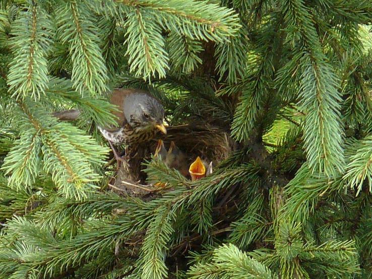 Drozd cvikotavý  (Turdus pilaris)