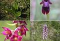 Orchidey Strážovských vrchov / 1.4167