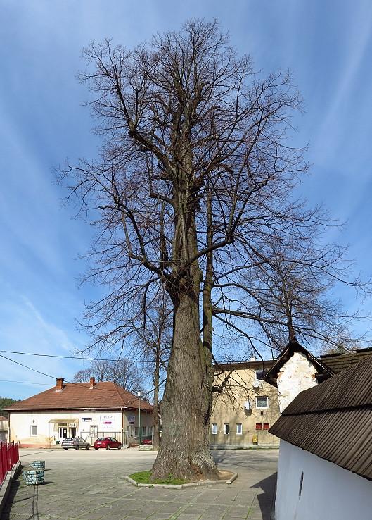 Chránený strom Lipa v Turí