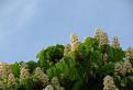 kužeľovité súkvetia pagaštana konského
